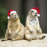 Black-Tailed Prairie Dog Wearing Christmas Hats Photographic Print