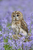 Tawny Owl on Tree Stump in Bluebell Wood Fotoprint