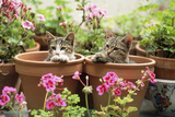 Kittens in Flowerpots with Geraniums Photographic Print