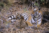 Bengal Indian Tiger Female with Cub in Bamboo Forest Photographic Print