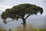 Umbrella Pine in Sicilian Landscape, on the Slopes Photographic Print