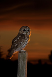 Tawny Owl on Post at Sunset Fotografická reprodukce