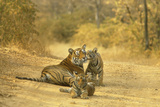 Bengal Indian Tiger Lying on Dirt Track with Cubs Photographic Print
