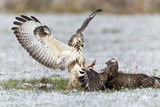 Common Buzzard Two Fighting over Food in Winter Reproduction photographique