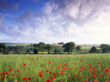 Mixed Crops, Common Poppies Wind-Blurred in Flowering Photographic Print by Anthony Harrison