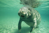 West Indian, Florida Manatee Underwater Photographic Print