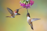 Rufous Hummingbird Two Males Feeding at Flower Photographic Print