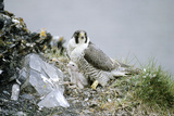 Peregrine Falcon Adult Warms a Chick Photographic Print by Andrey Zvoznikov