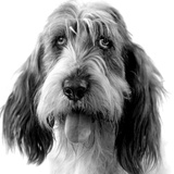 Grand Basset Griffon Vendeen Black and White Photographic Print
