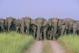Asian Elephants Blocking the Track Photographic Print
