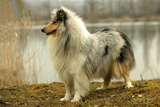 Rough Collie Dog Side View Photographic Print