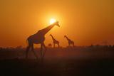 Giraffes at Sunset Photographic Print