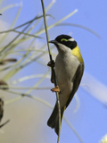 Golden Backed Honeyeater Photographic Print