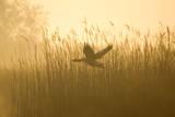 Greylag Goose Taking Flight from Reedbeds at Sunrise Photographic Print