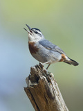 Kruper's Nuthatch in Pine Tree Calling Photographic Print