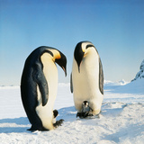 Emperor Penguin Family in Snow Photographic Print