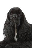 American Cocker Spaniel Black Photographic Print