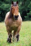 Horse Belgian Cart Horse Photographic Print