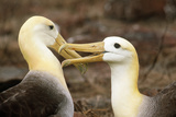 Waved Albatross Courtship Display Fotografie-Druck