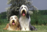 Bearded Collie Two Photographic Print
