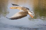 Greylag Goose Taking Flight Photographic Print