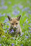 Red Fox Cub in Bluebell Woodland Photographic Print