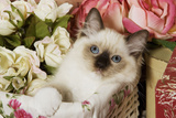 Ragdoll Seal Kitten in Basket Amongst Flowers Photographic Print