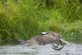 Osprey Catching Fish Reproduction photographique