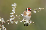 Goldfinch Spring Blossom Photographic Print
