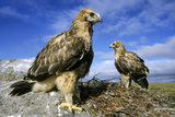 Rough-Legged Buzzards Young at the Nest Very Reproduction photographique par Andrey Zvoznikov