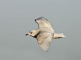 Iceland Gull 2nd Winter Vagrant in Flight Photographic Print