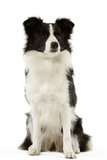 Border Collie Photographic Print