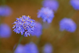 Western Australia Native Cornflower Photographic Print