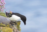 Razorbill Preparing to Leave Cliff Edge Photographic Print