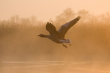 Greylag Goose Taking Flight in Misty Sunrise Photographic Print