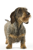Dachshund, Teckel Wire-Haired Photographic Print