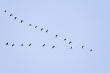 Pink-Footed Geese Flying in a 'V' Formation Photographic Print