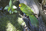 Yellow-Crowned Parakeet Photographie