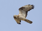 European Honey Buzzard Adult Male in Flight Reproduction photographique