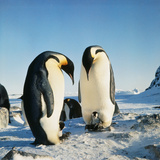 Emperor Penguin, Two Adults with Chicks Photographic Print