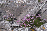 Thrift Growing on Lichen Covered Rocks on Coast Photographic Print