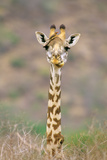 Maasai Giraffe Young with Bird on Head Photographic Print