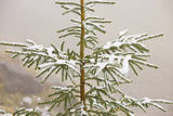 Norway Spruce Tree Covered with Light Snow And Photographic Print