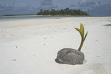 Sprouting Coconut on Beach Photographic Print