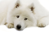 Samoyed Photographic Print