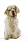 Clumber Spaniel Sitting Down Photographic Print