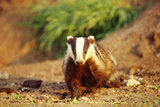 European Badger Photographic Print