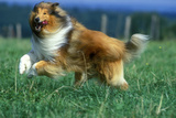 Rough Collie Dog Running Photographic Print