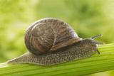 Common Garden Snail on Celery Stalk Photographic Print