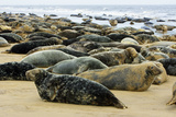 Grey Seal Herd Resting on Sand-Bank Photographic Print